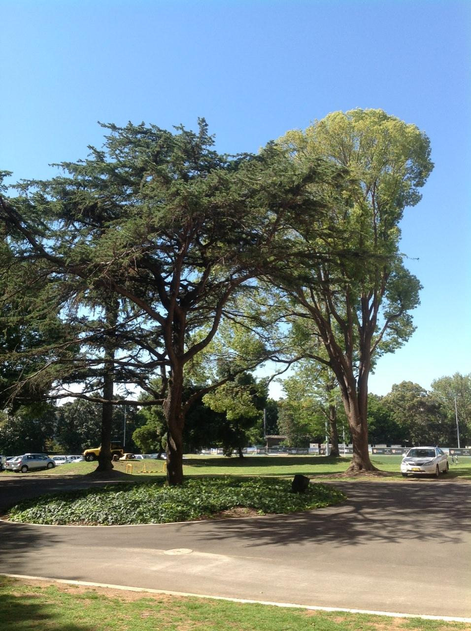 Pine and Campor Laurel
