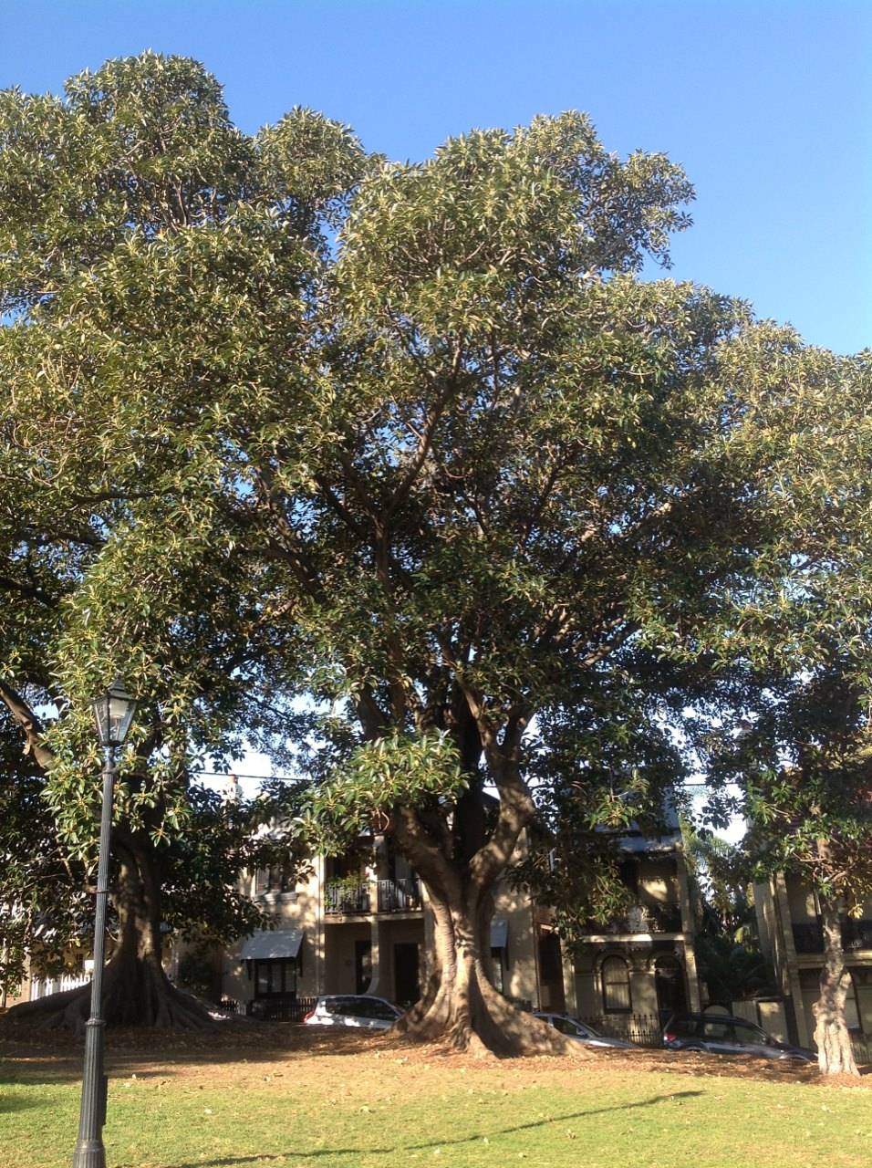 Moreton Bay Figs