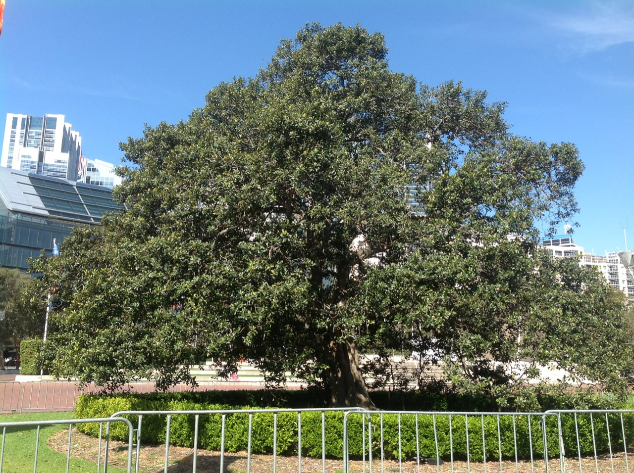The translocated Port Jackson Fig located in Tumbalong Park, in Darling Harbour.