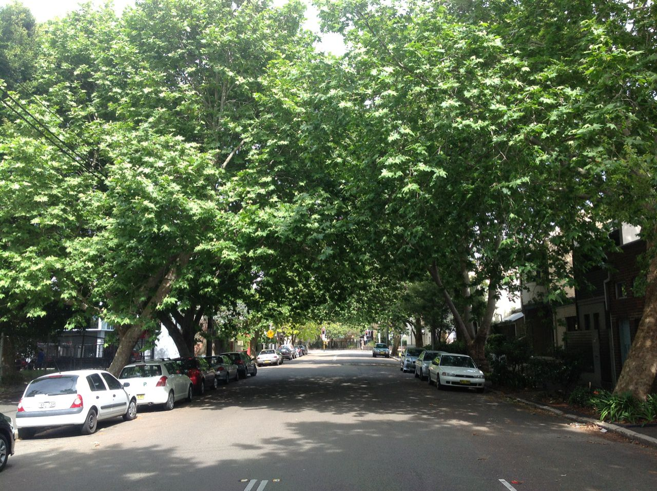 The London Plane Tree avenue along Buckland Street, Alexandria.