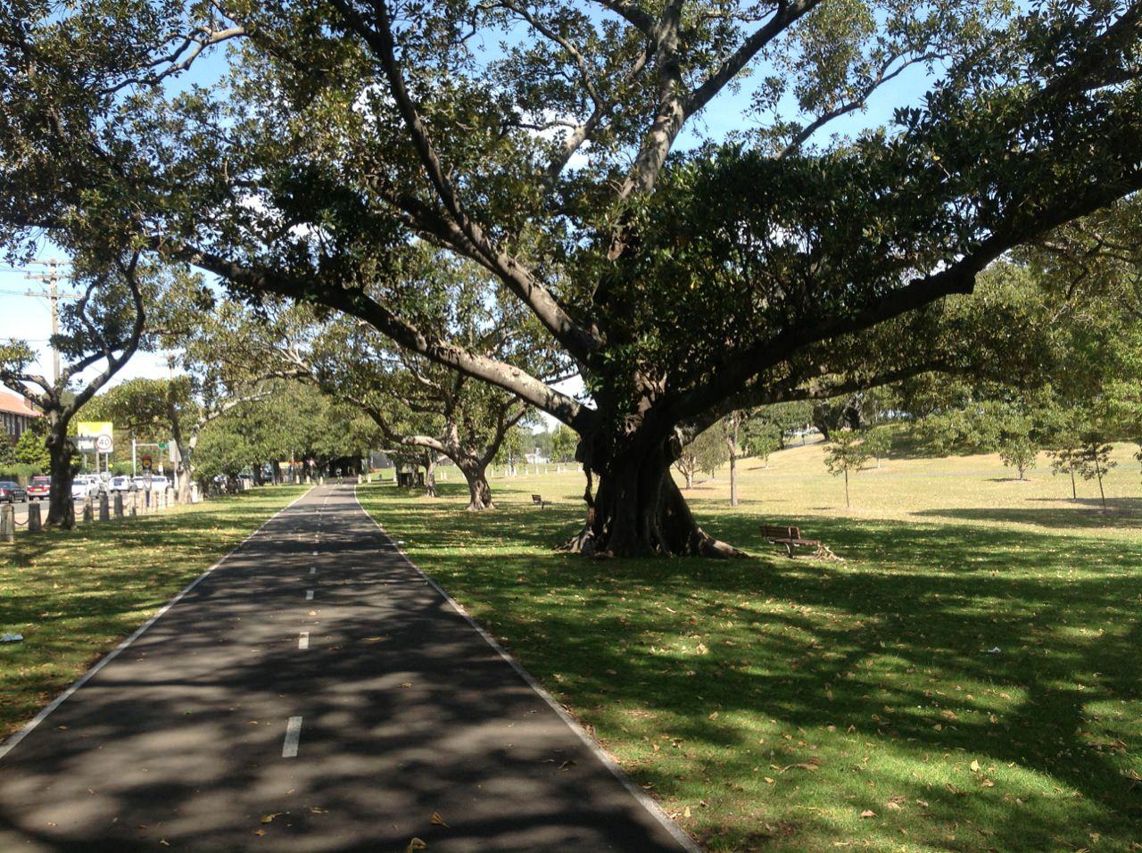 Moreton Bay and Port Jackson Figs