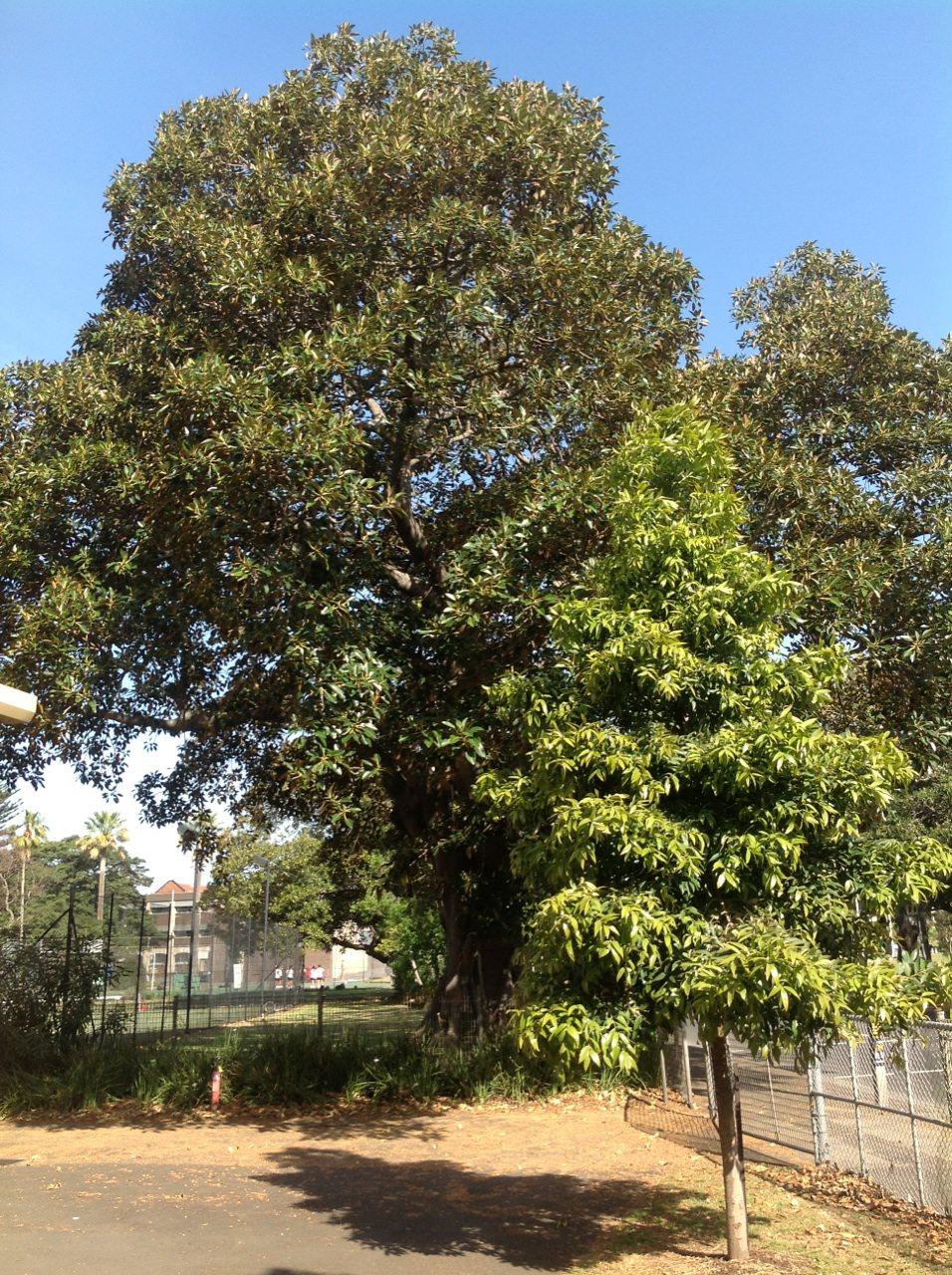 Morteon Bay Fig and Kauri Pine
