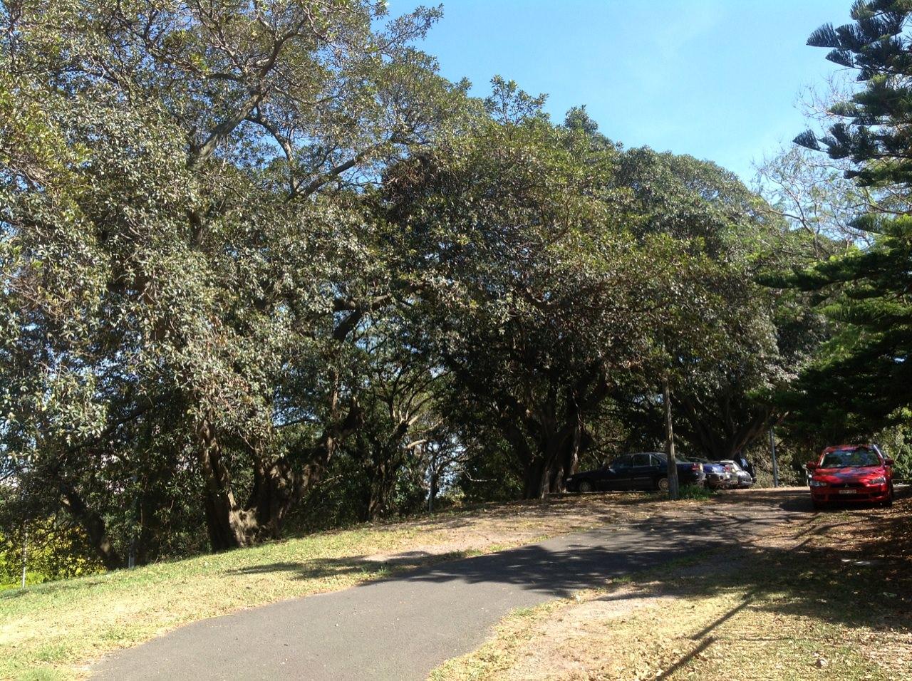Moreton Bay Fig and Port Jackson Figs