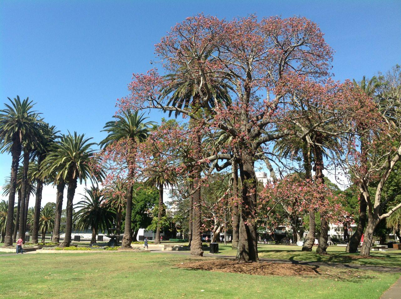 Queensland Lacebark