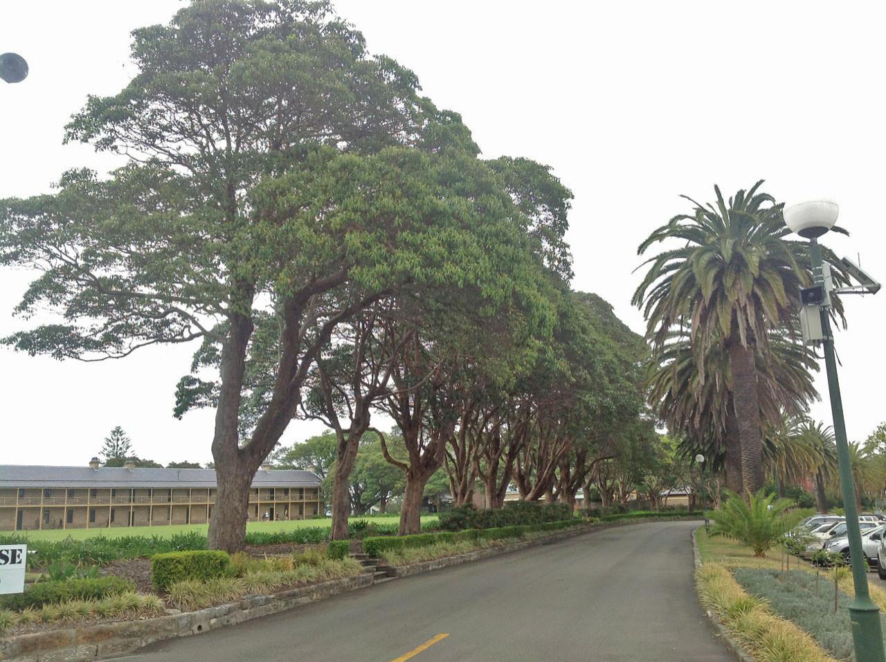 Brush Box and Canary Island Date Palms