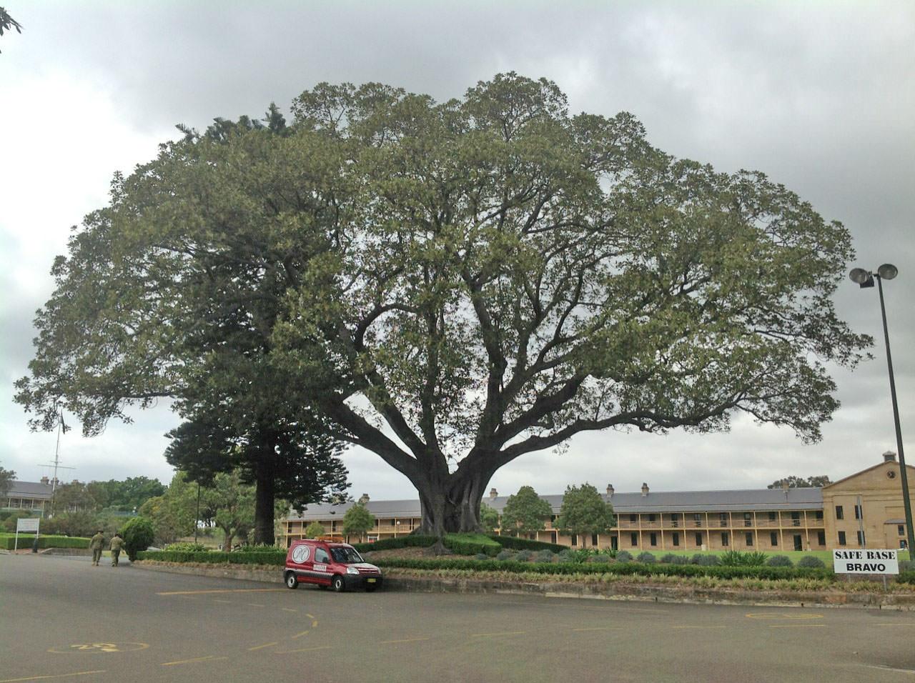 Moreton Bay Figs and Norfolk Island Pine