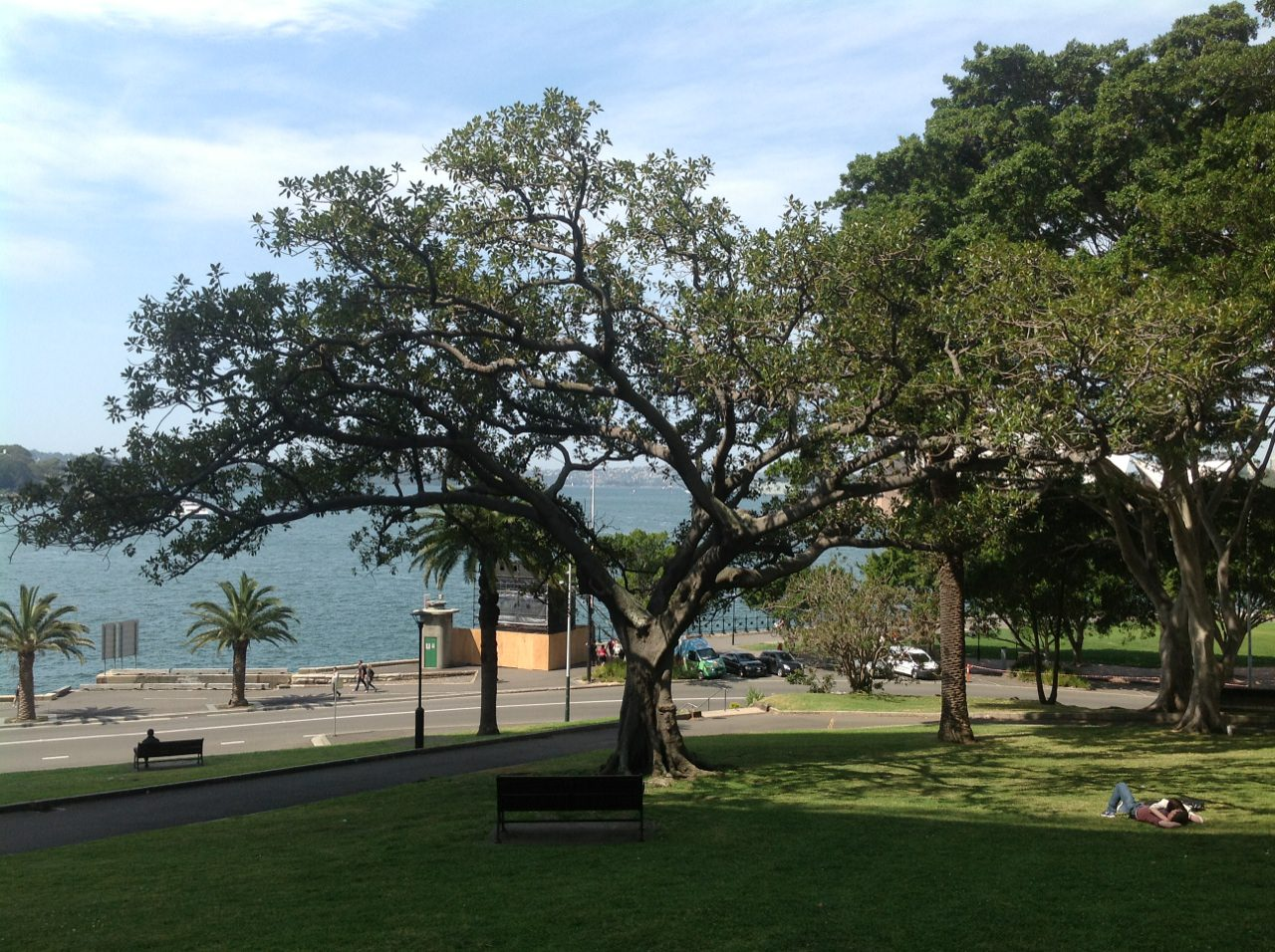 Moreton Bay Fig and Hills Figs