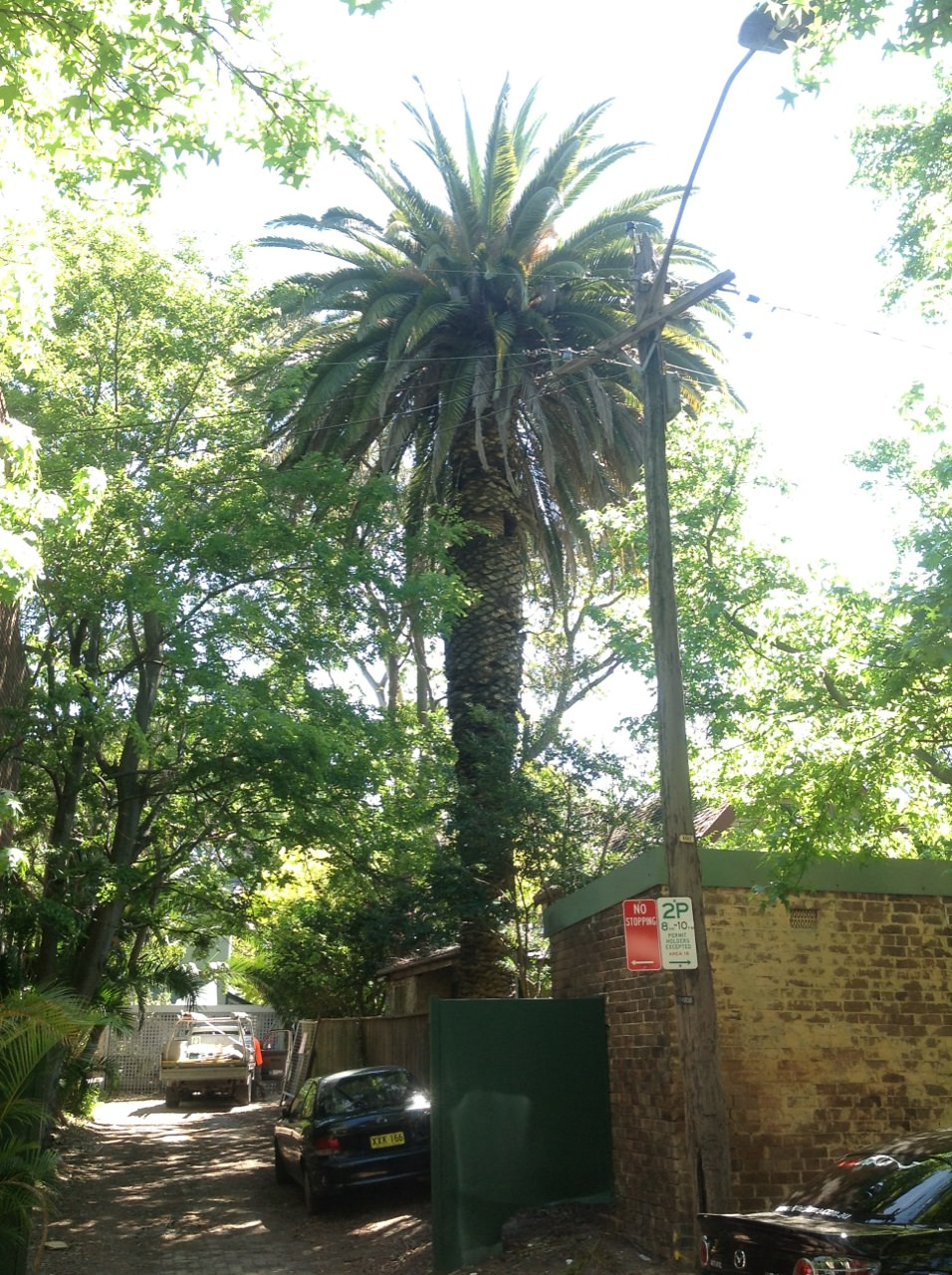Canary date palm in Sydney