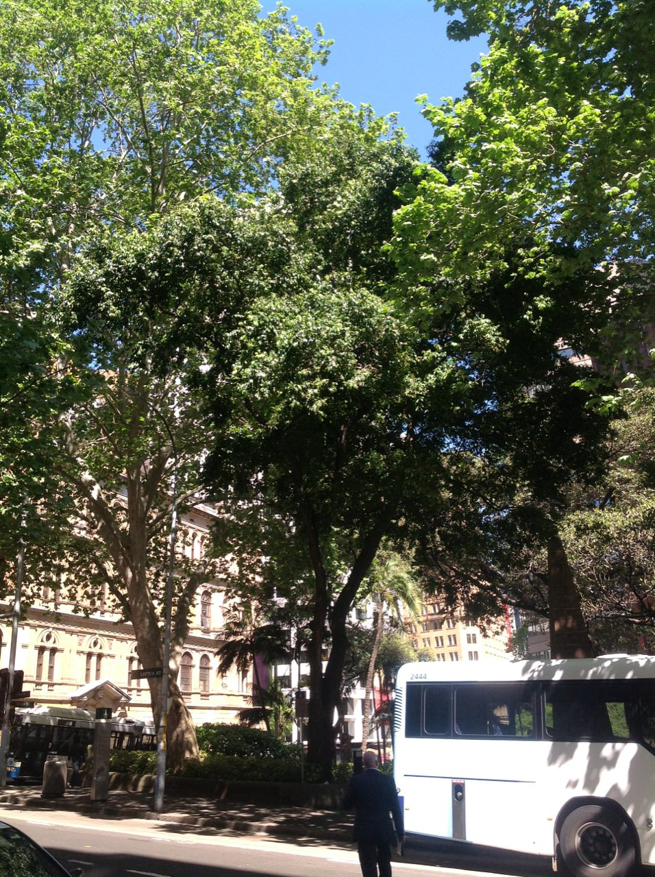 London Plane and Moreton Bay Figs