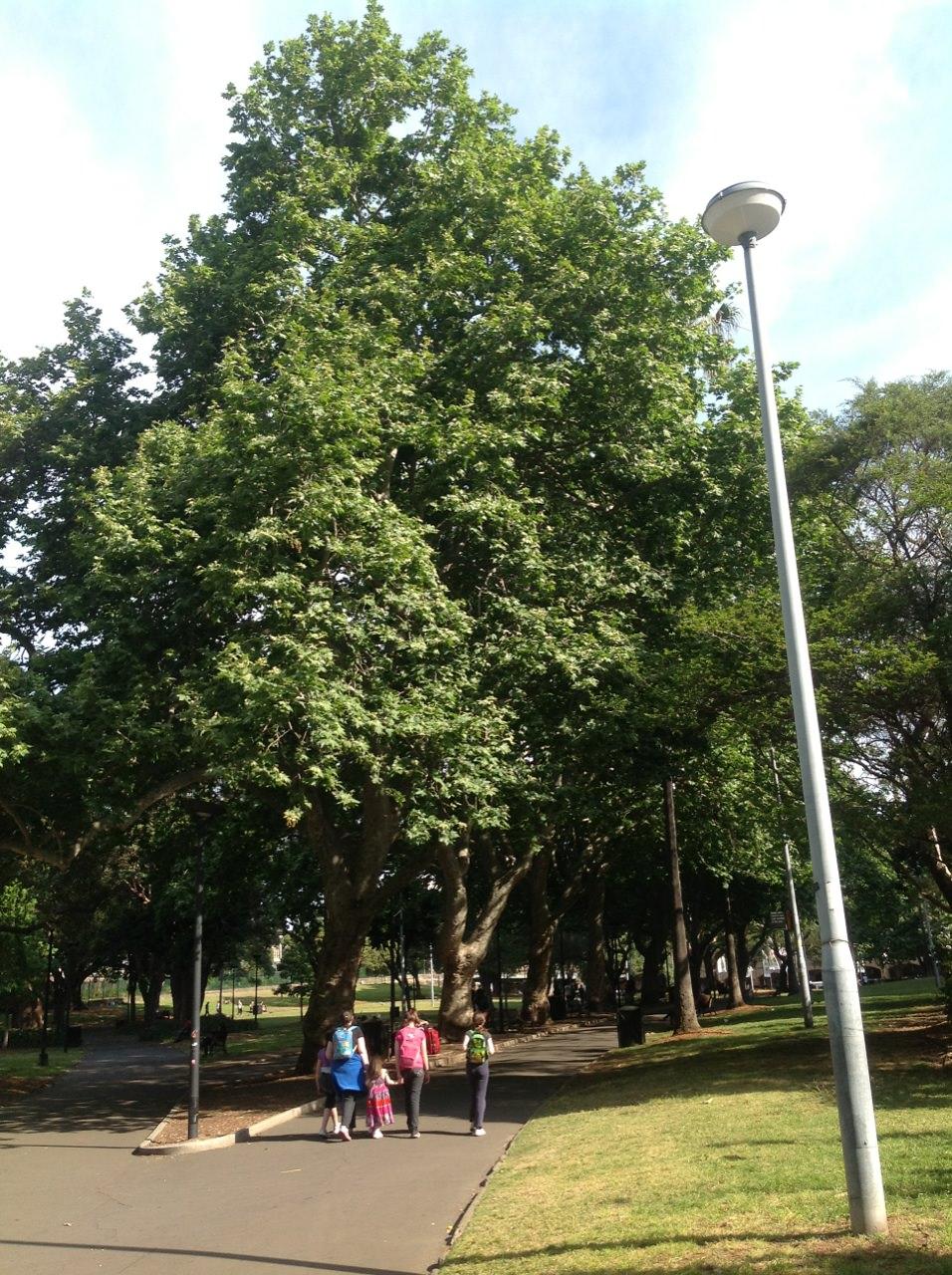 London Plane Trees