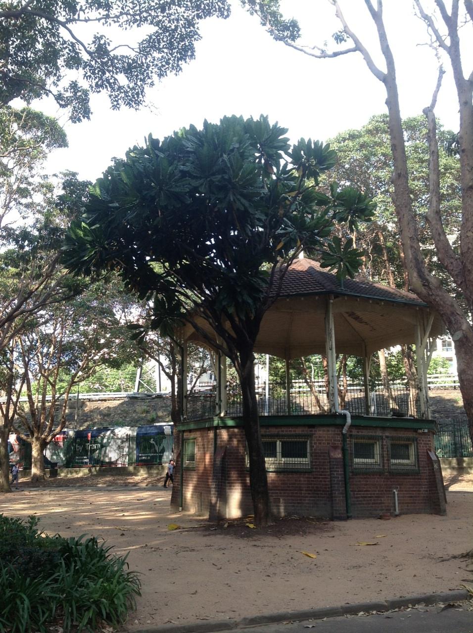 Seem Tree (Meryta denhamii)