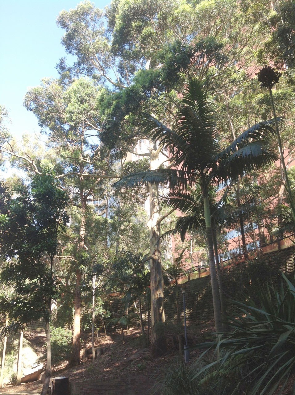 Sydney Blue Gums and native understorey plants and palms
