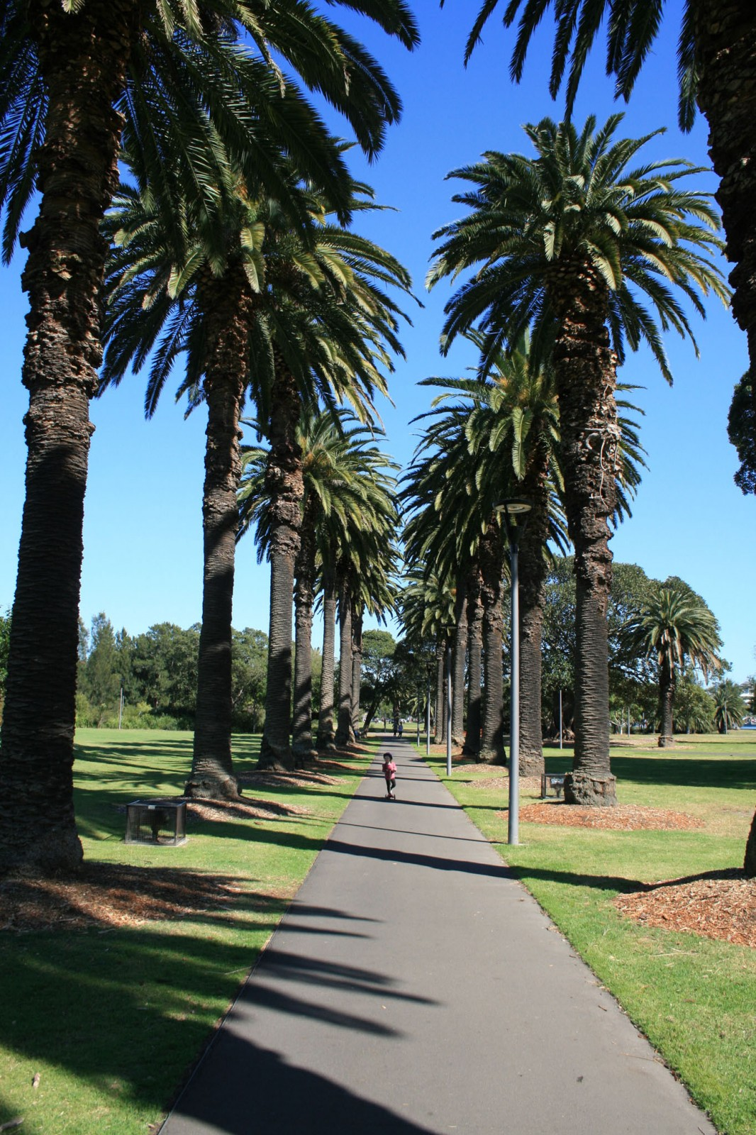 Canary Island Date Palms in Jubilee Park