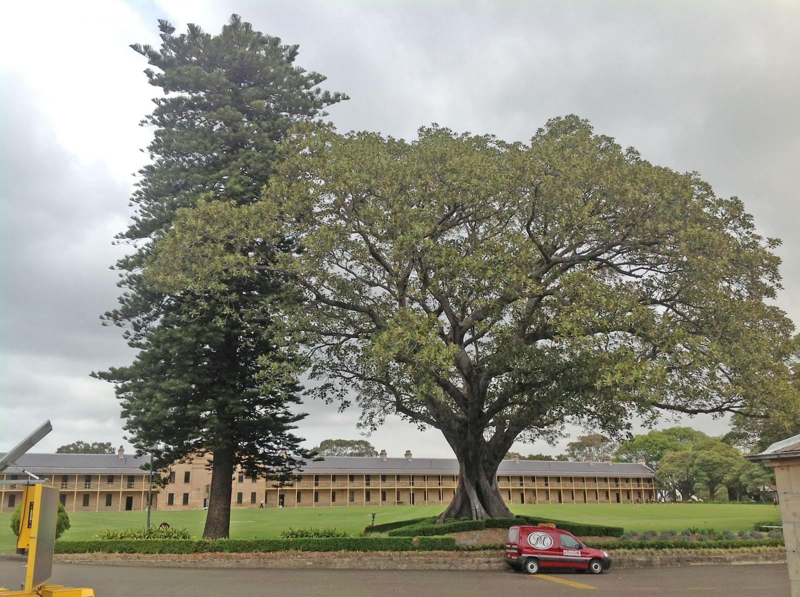 Moreton Bay Figs and Norfolk Island Pines