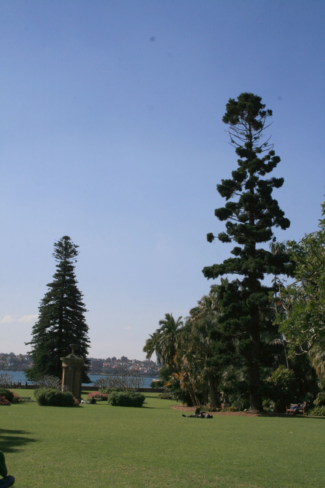 The dramatic forms of some of the early Norfolk Island Pine and Hoop Pines planted in the lower gardens