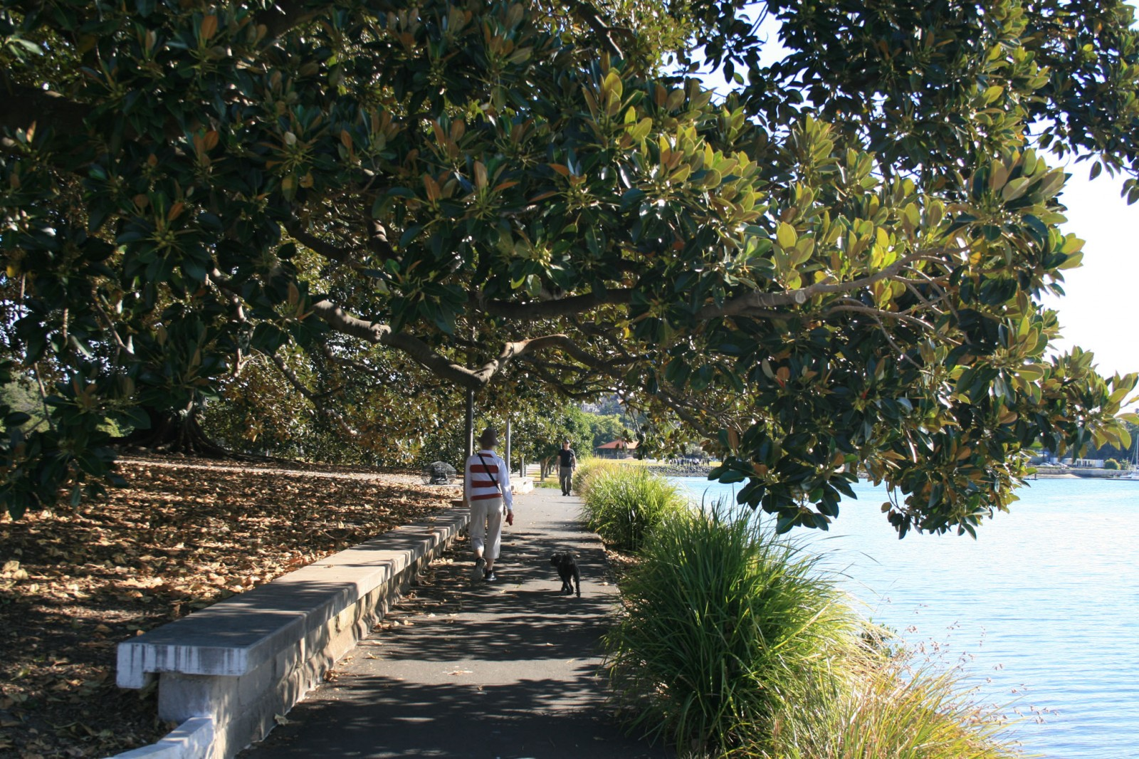 The massive canopied Moreton Bay Fig, located in Pope Paul IV Reserve Glebe Point
