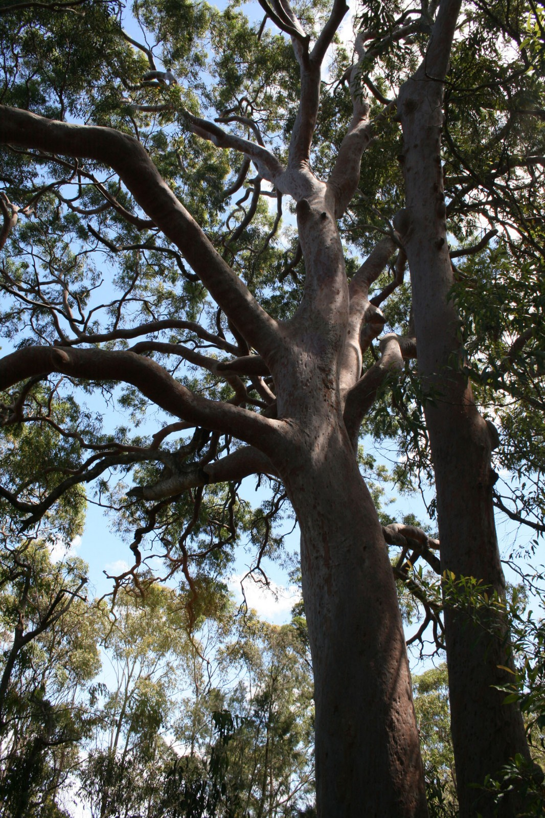The ubiquitous Sydney Red Gum (Angophora costata) - a grand and significant tree that would have graced the shores of Sydney for millennia prior to 1788 and the arrival of Europeans.